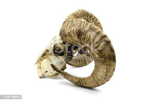 1151385192istockphoto Skull of a goat on white isolated background. 1168198642