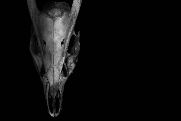 Skull of a horned animal isolated on black in the style of horror stock photo