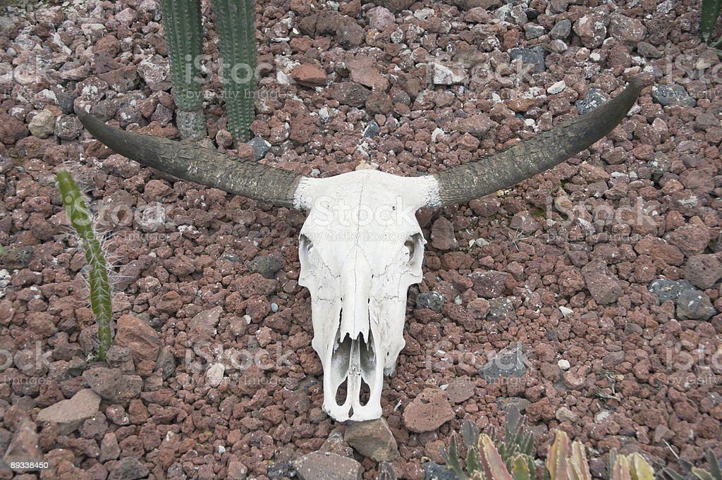 Skull of a Longhorn Steer royalty-free stock photo