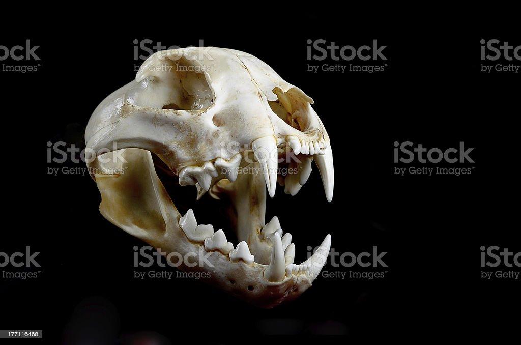 Skull of a predator royalty-free stock photo