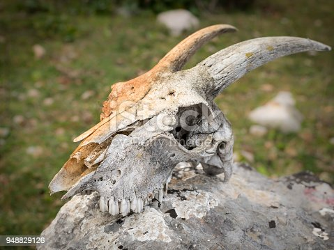 1151385192istockphoto Skull of a sheep with horns lying on a rock 948829126
