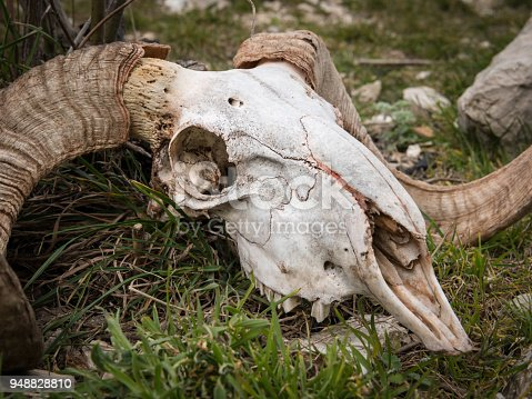 1151385192 istock photo Skull of a sheep with horns lying on the ground 948828810