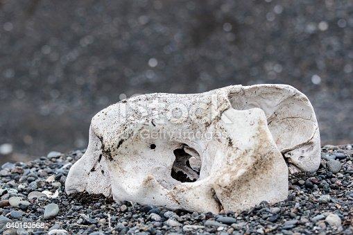 bones of wild marine mammals lie on the shore