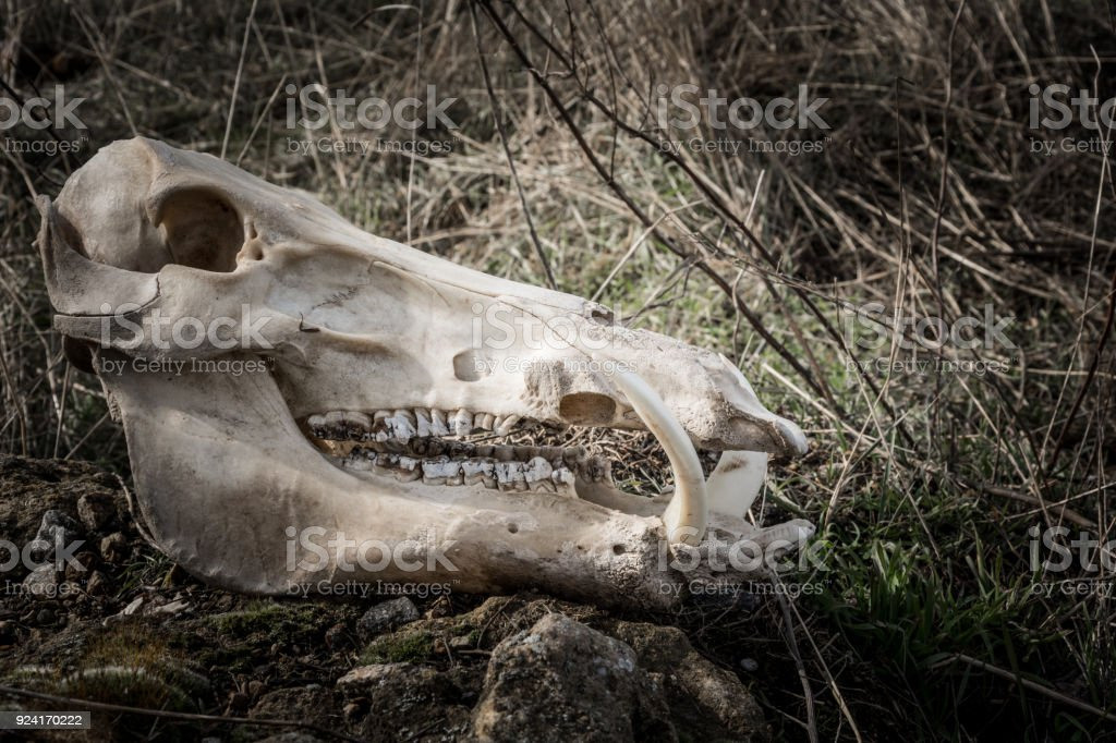 Skull Of A Wild Boar Stock Photo & More Pictures of Anatomy | iStock