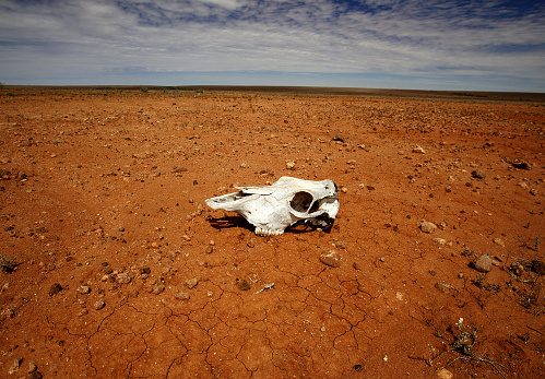 The skull of a dead animal lies on the red parched desert in outback New South Wales,Australia