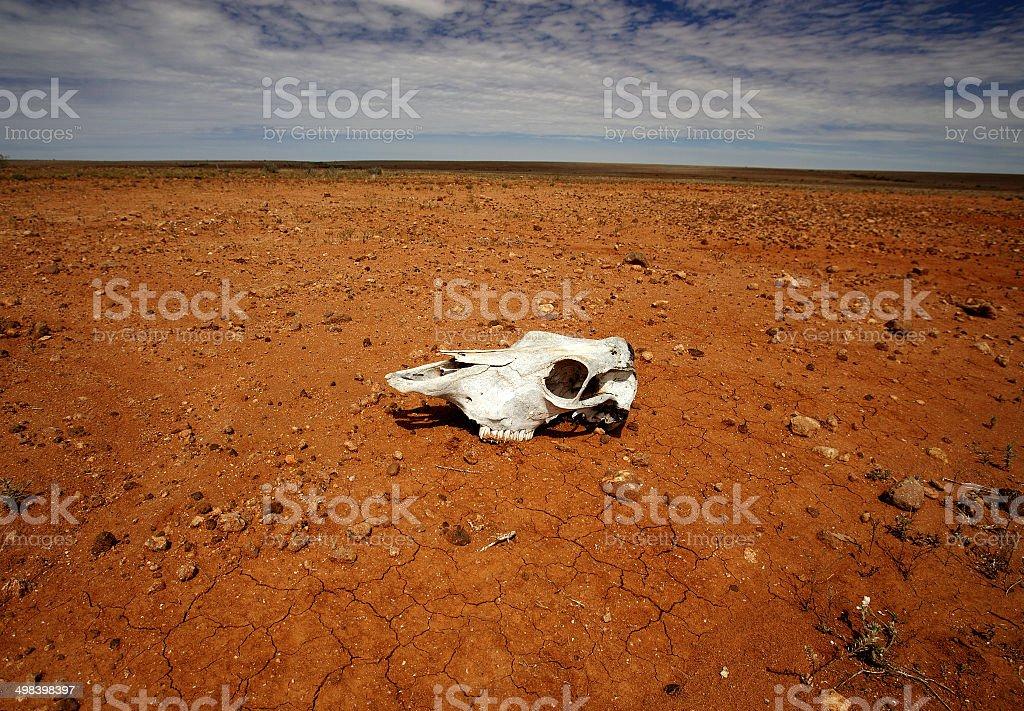 Skull of Dead Animal on Red Parched Desert Australia stock photo