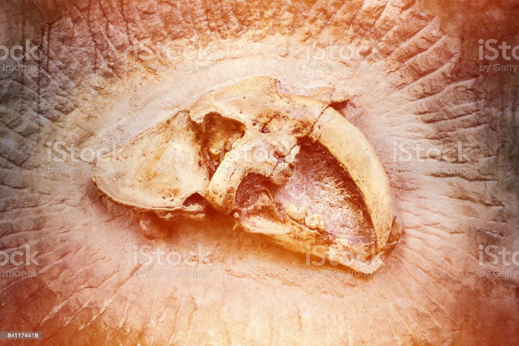 Skull of extinct saber-toothed tiger stock photo