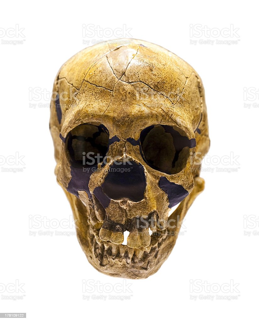 Skull of Homo Neanderthalensis stock photo