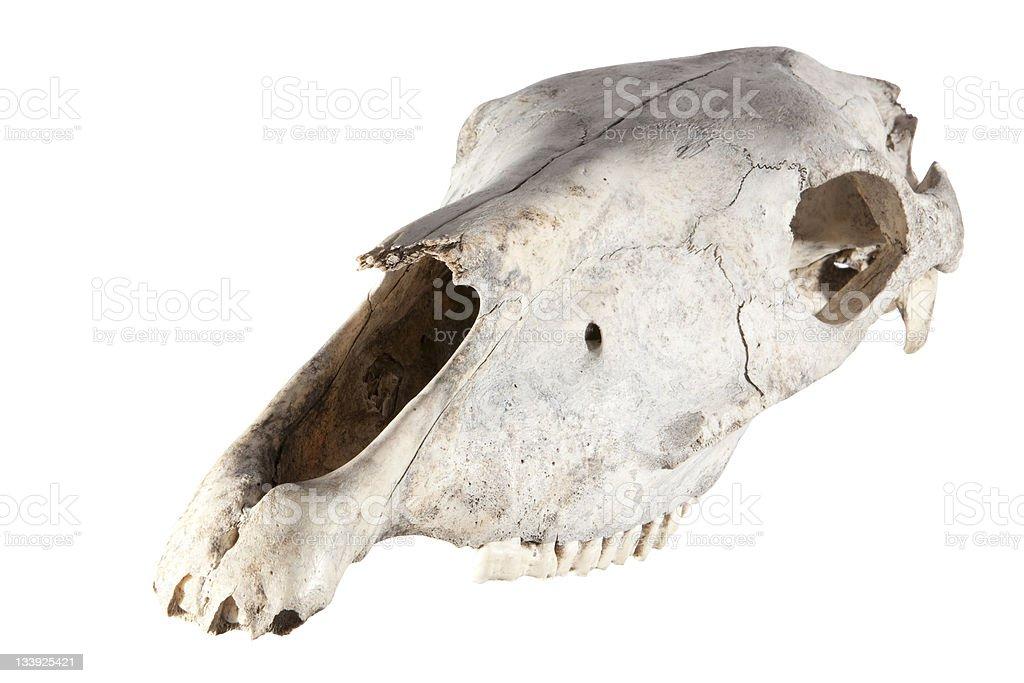 Skull of horse stock photo