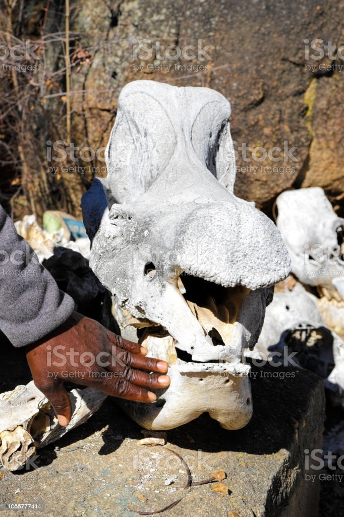 Skull of poached southern white rhinoceros stock photo