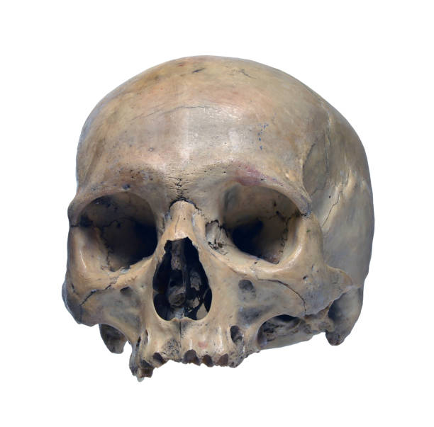Skull of the human Skull of the human on a white background. human skull stock pictures, royalty-free photos & images
