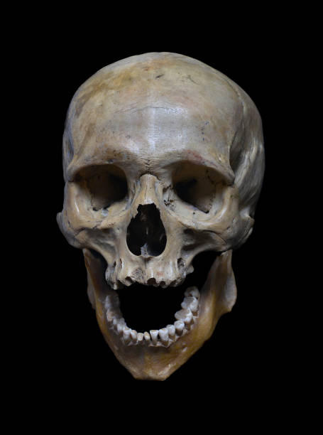 Skull of the human stock photo