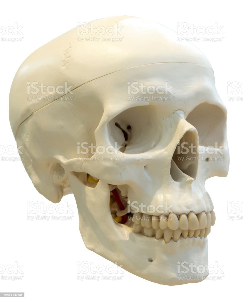 Skull of the person close-up stock photo