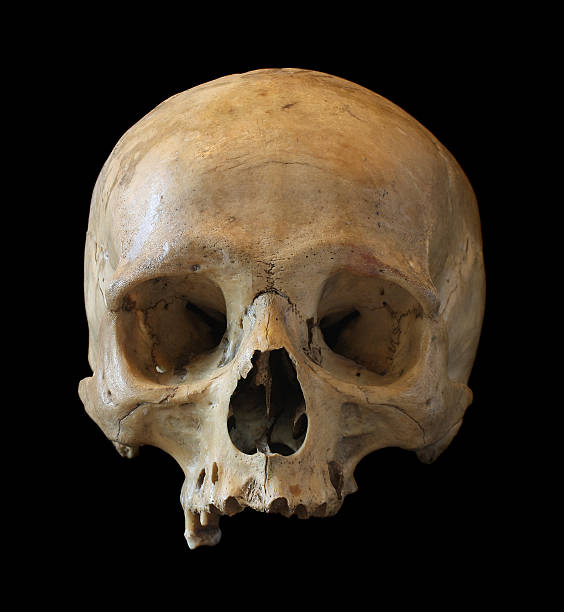 Skull of the person. stock photo