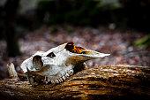 Moose elk cranium head in forest