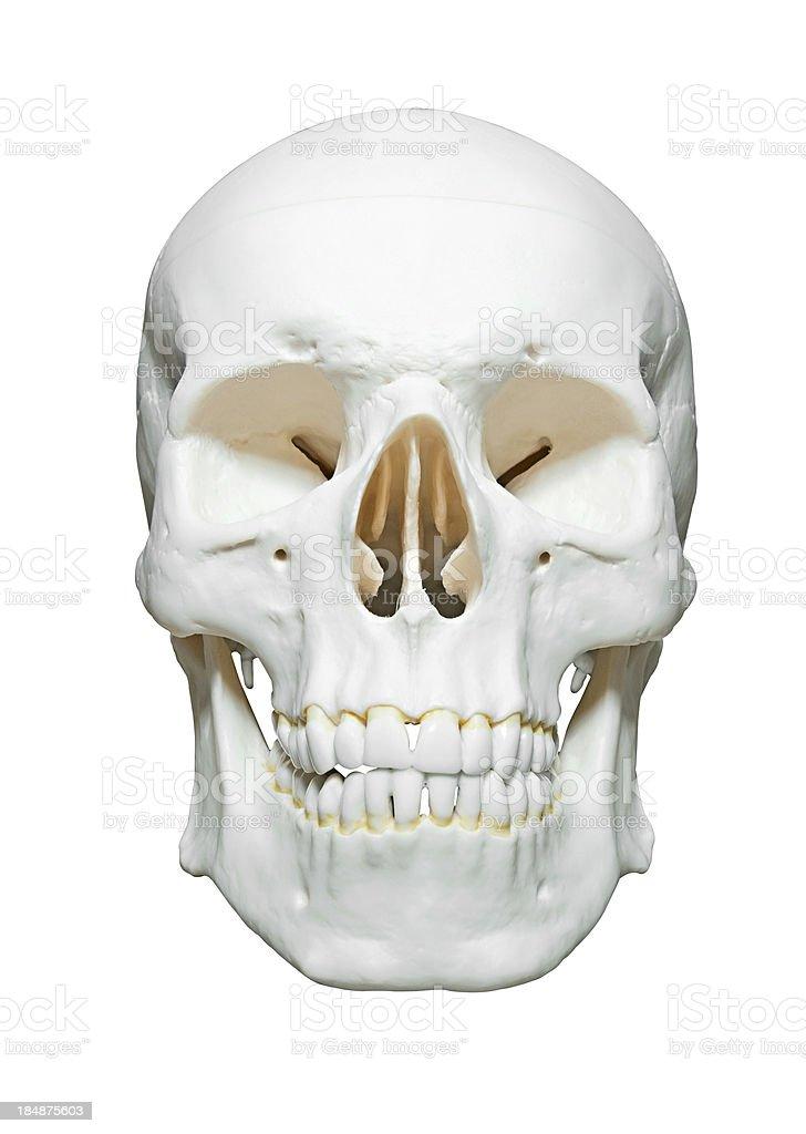 Cráneo - Fotografía de stock y más imágenes de Anatomía | iStock