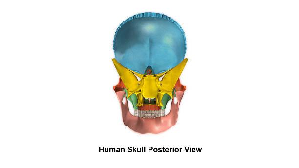 skull posterior view - palais buccal photos et images de collection