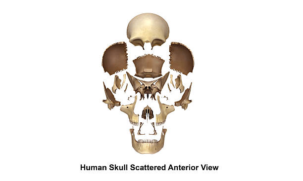 skull scattered anterior view - palais buccal photos et images de collection