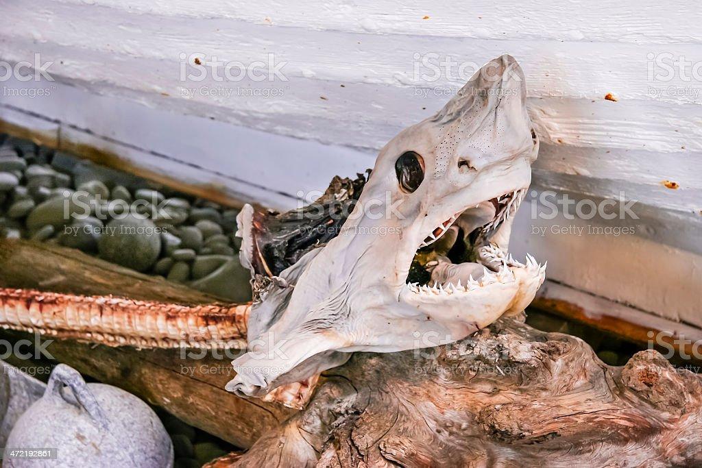 Fotografía de Tiburón Cráneo Contra La Pesca En Bote Guijarros ...