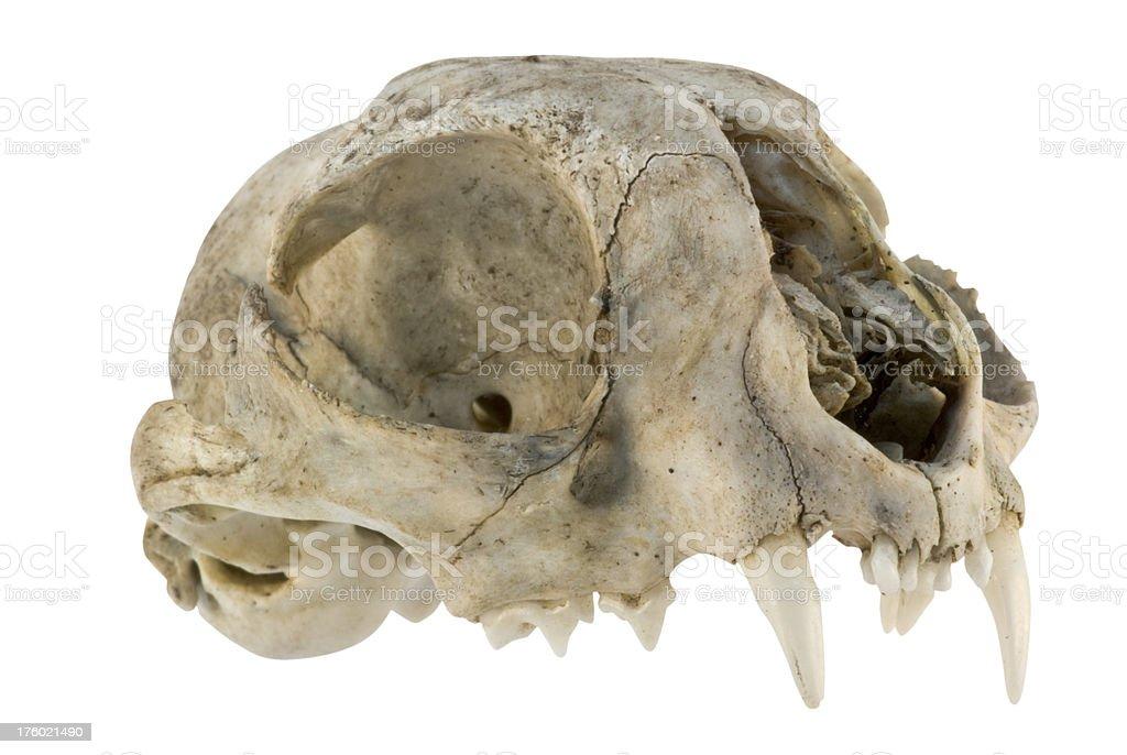 skull - small carnivore stock photo