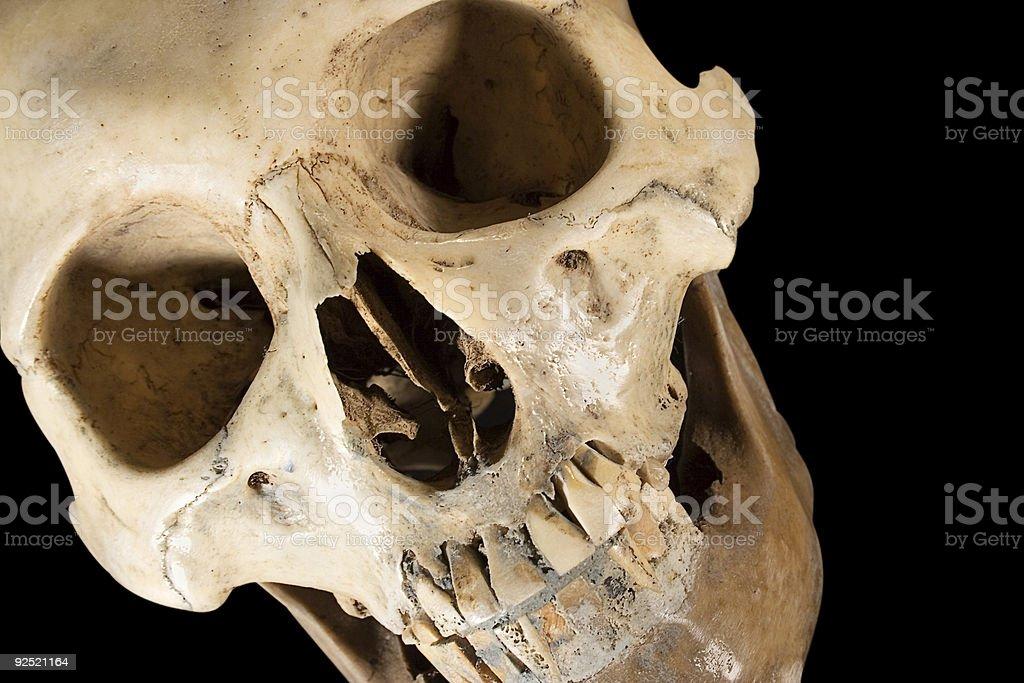 Skull w/ClippingPath (Diagonal Front View) stock photo