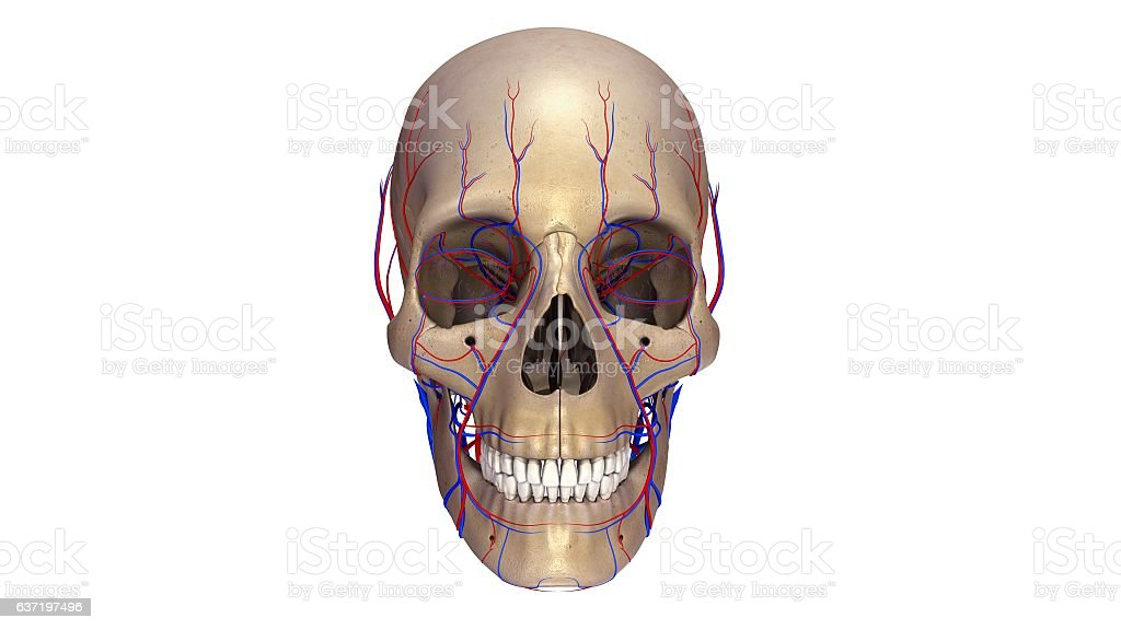 Skull With Blood Vessels Anterior View Stock Photo & More Pictures ...
