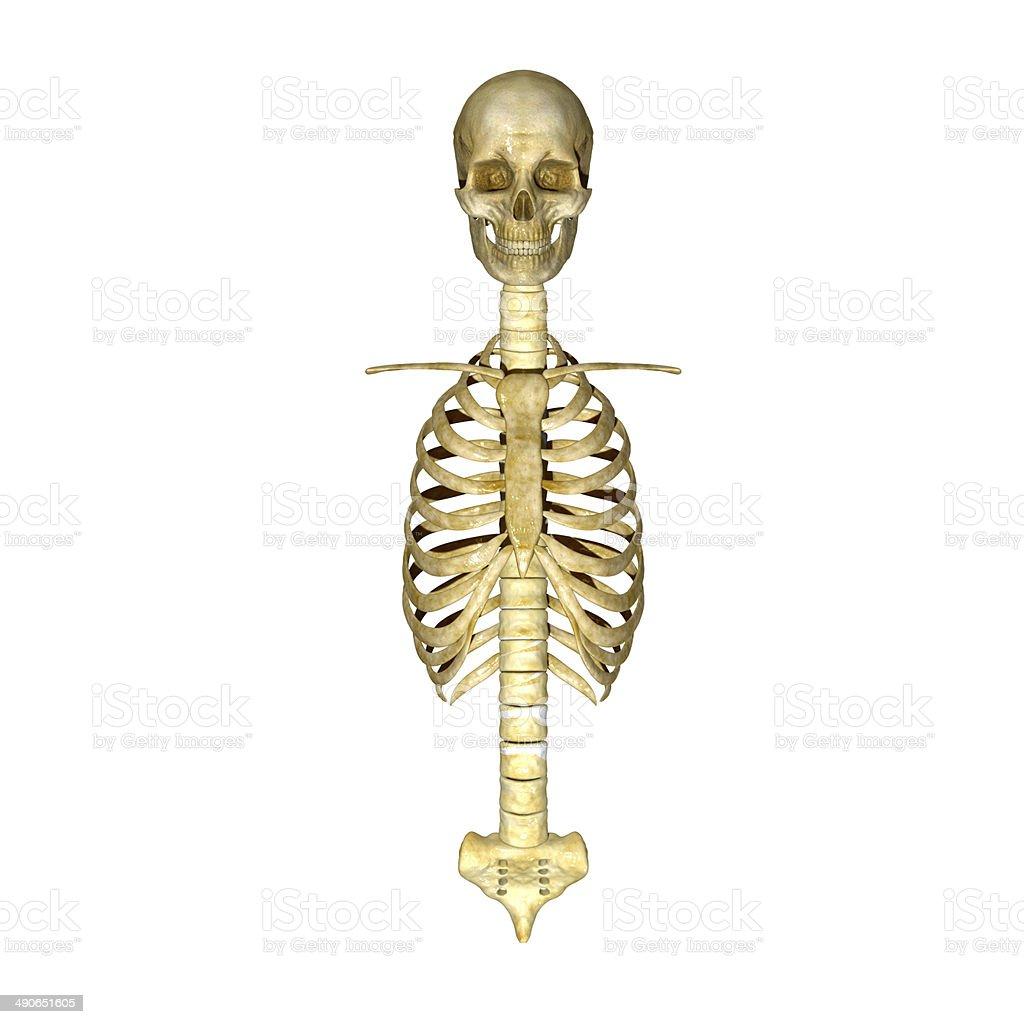 Fotografía de Cráneo Con Costillas y más banco de imágenes de ...