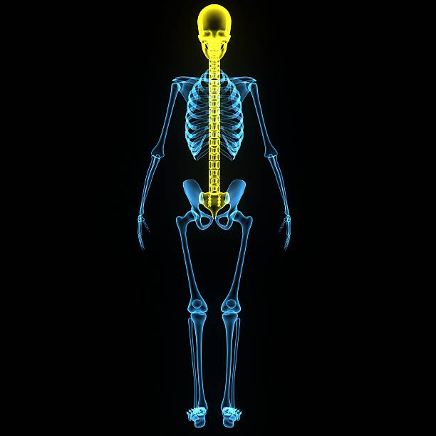Skull with spinal cord stock photo
