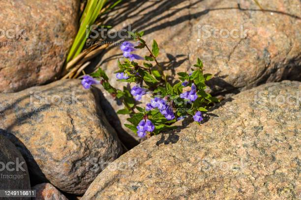 Photo of Skullcap flowers in a cliff crevice