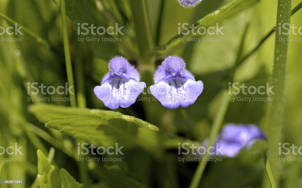 Skullcap Scutellaria galericulata purple flowers in pairs stock photo
