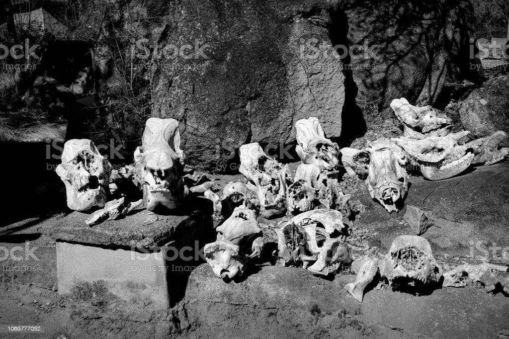 Skulls of poached southern white rhinoceros Ceratotherium simum stock photo