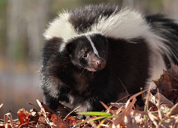 skunk during fall - skunk stock photos and pictures