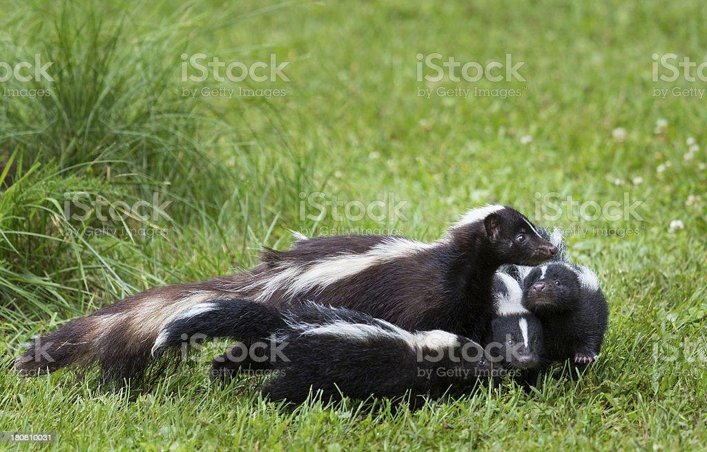Skunk Family stock photo