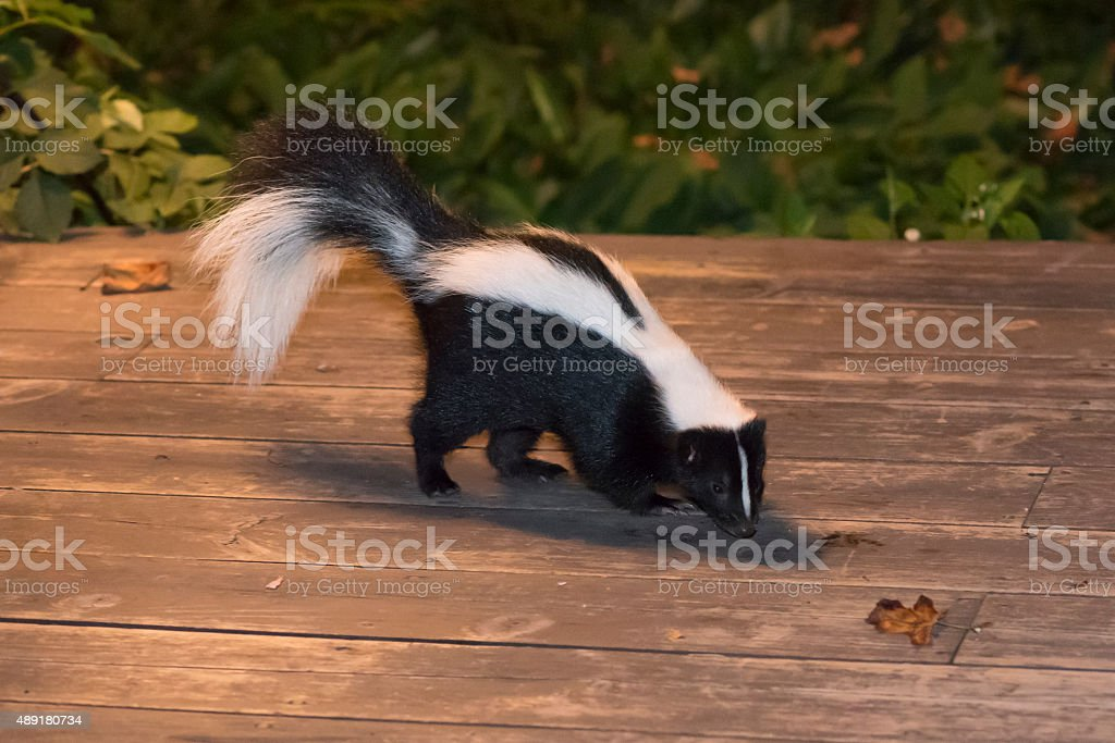 Skunk In Backyard skunk in backyard patio stock photo & more pictures of 2015 | istock
