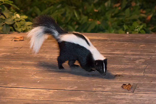 skunk in backyard patio - skunk stock photos and pictures