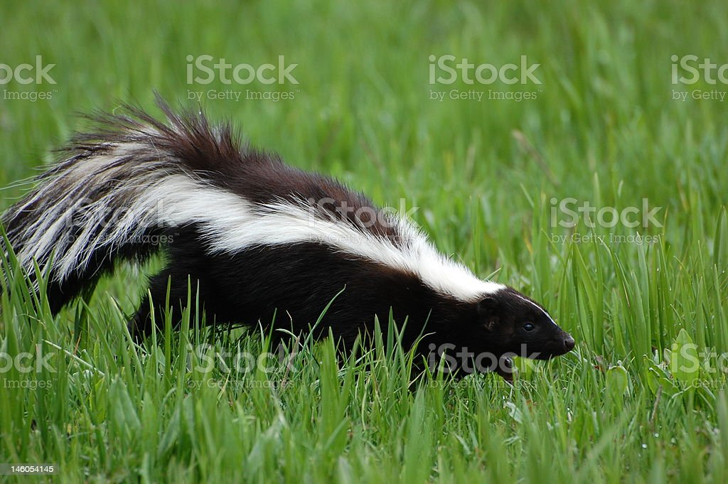 Skunk in Early Spring royalty-free stock photo