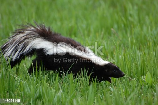 Skunk looks for food in early spring.