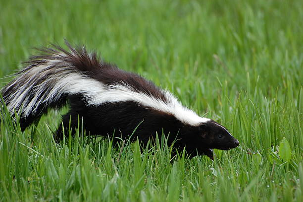 skunk in early spring - skunk stock photos and pictures