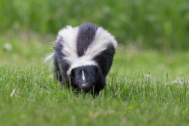 skunk in spring - skunk stock photos and pictures