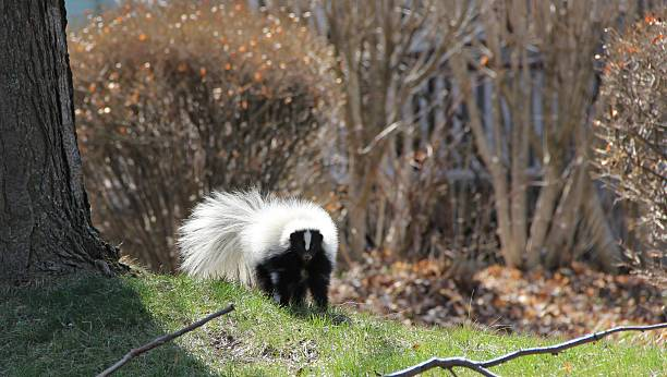 skunk in the yard. - skunk stock photos and pictures