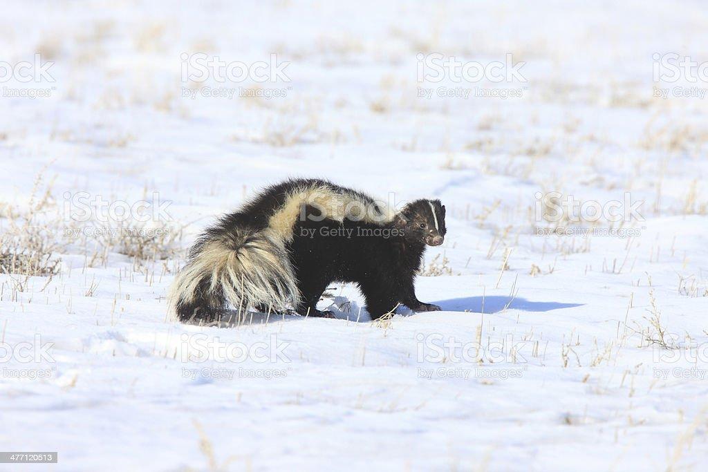 Skunk in WInter Canada stock photo