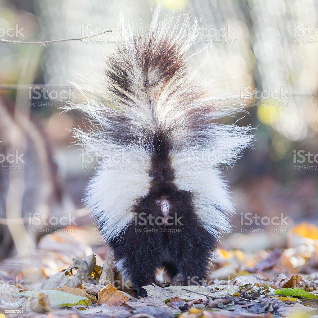 Skunk (Mephitis mephitis) in winter stock photo