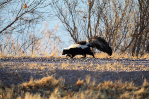 skunk (mephitis mephitis) new mexico - skunk stock photos and pictures