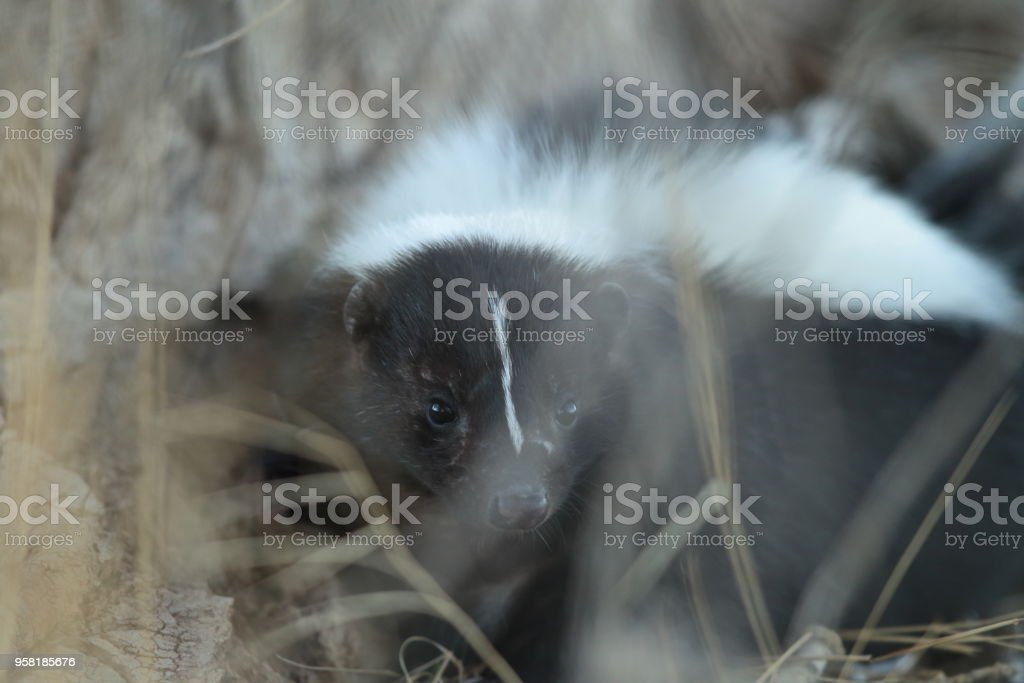 Skunk (Mephitis mephitis) New Mexico stock photo