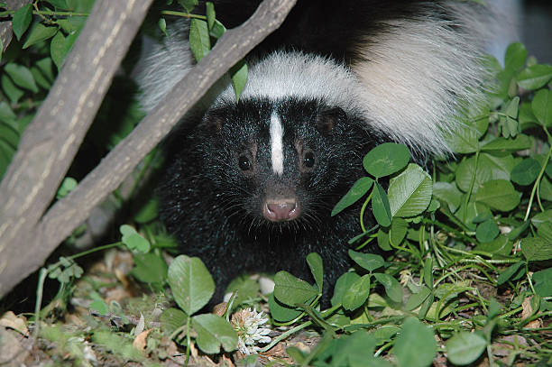 skunk photo, head shot - close-up - skunk stock photos and pictures