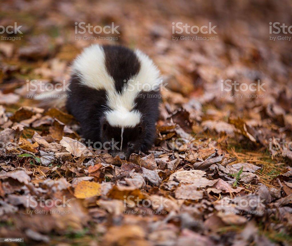 Skunk walking along forest floor stock photo