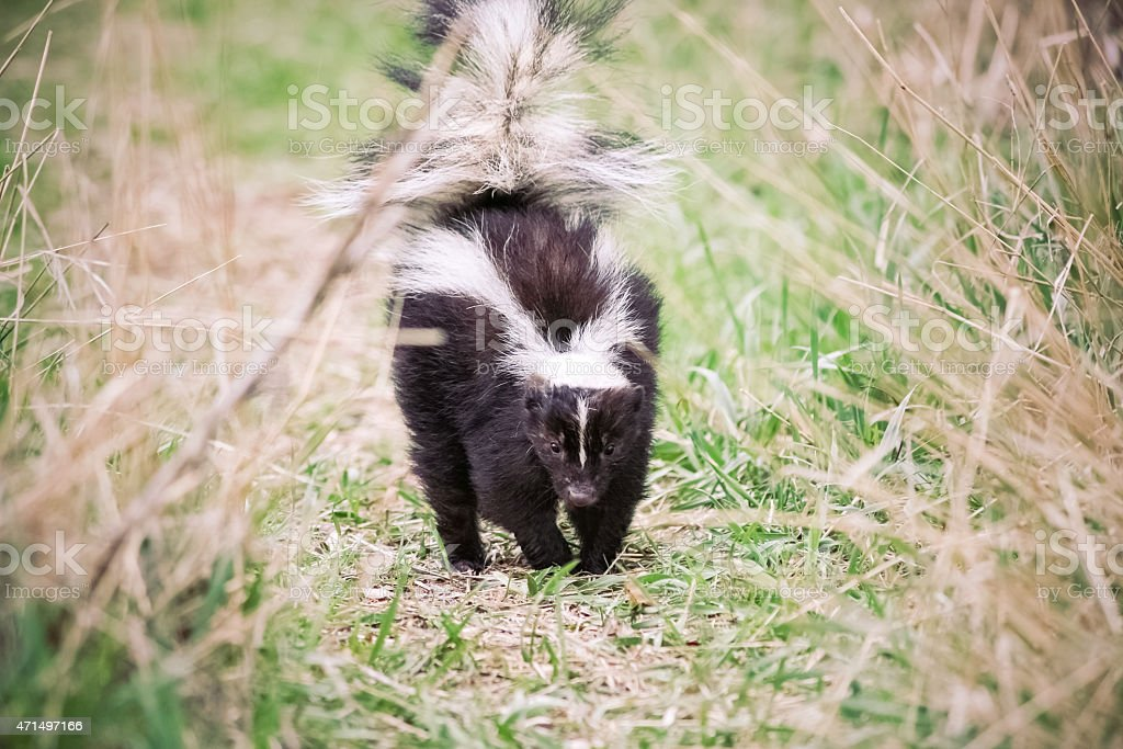Skunk walking on grassy nature path with tail up stock photo