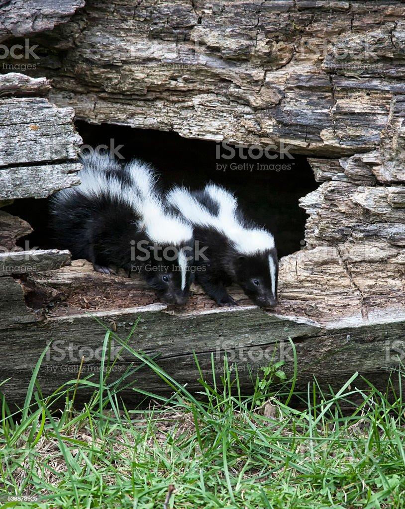 Skunks stock photo