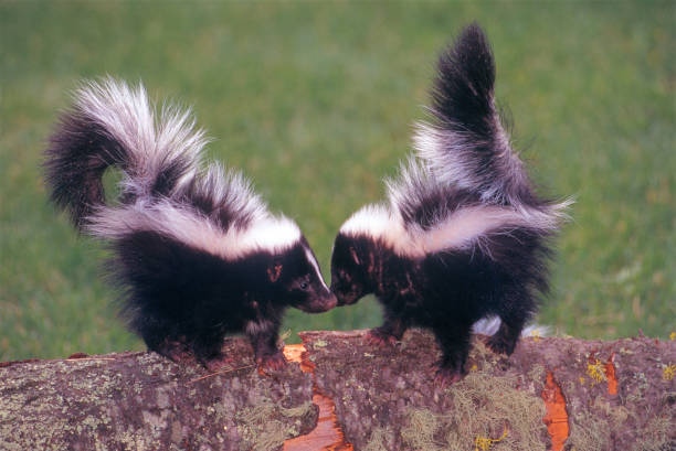 2 skunks - skunk stock photos and pictures