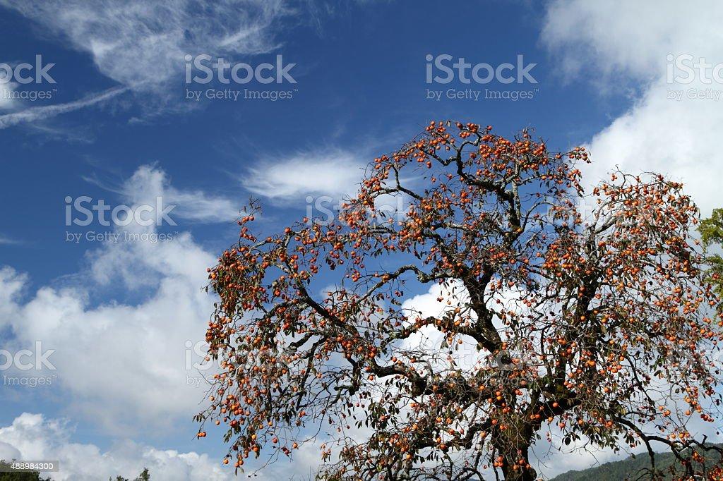 スカイと柿の木 ストックフォト